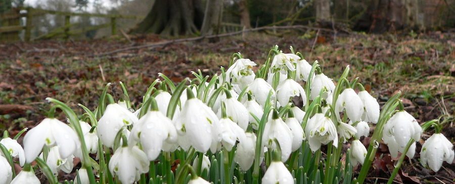 Snowdrops near trees